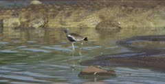 white-crowned plover carefully walks around crocodile while hunting
