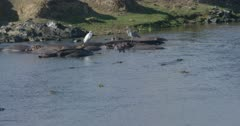 crocodiles and hamerkops chasing fish, herons sitting on hippos, slow motion