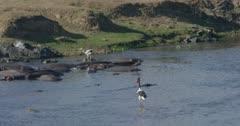 crocodiles and hamerkops chasing fish, saddle-billed storks hunting, slow motion