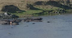 crocodiles and hamerkops chasing fish, slow motion