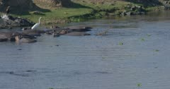 crocodiles, herons and hamerkops chasing fish, slow motion
