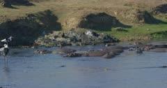 crocodiles, herons, and hamerkops chasing fish, saddle-billed storks hunting, slow motion