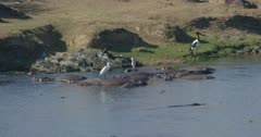 crocodiles, herons, and hamerkops chasing fish, saddle-billed stork standing, slow motion