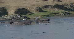 crocodiles, herons, and hamerkops chasing fish, slow motion