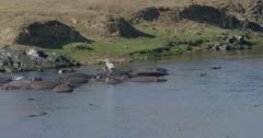 crocodiles, herons, and hamerkops chasing fish, slow motion, looks like crocodile going after hamerkop