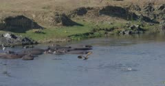 crocodiles, herons, and hamerkops chasing fish, slow motion, several crocodiles go after fish