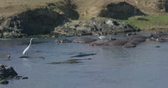 crocodiles, herons, and hamerkops chasing fish, slow motion,