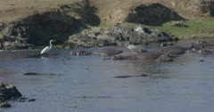 crocodiles, herons, and hamerkops chasing fish, slow motion, big crocodile goes after fish and upsets hippos