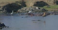crocodiles, herons, and hamerkops chasing fish, slow motion, heron walking on hippos