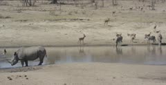 rhino, impala and zebra at waterhole, wide