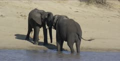 2 male elephants get more serious