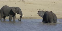 2 male elephants get more serious but no one is hurt