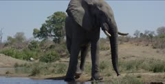 male elephant starts walking away, splashes water in sort of a threatening way