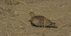 double-banded sandgrouse male cautiously feeding