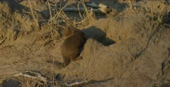 dwarf mongoose standing, scratching, walking