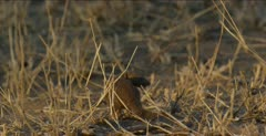 dwarf mongoose standing, turns and looks,runs