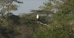fish eagle sitting in a tree, windy