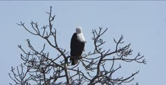 fish eagle sitting in tree, preening
