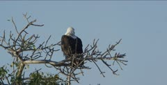 fish eagle immature sitting in a tree