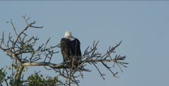 fish eagle immature sitting in a tree, flies
