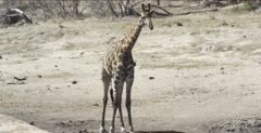giraffe get several drinks with lots of oxpeckers
