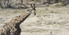giraffe after a drink with lots of oxpeckers