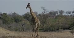 giraffe walking with lots of oxpeckers