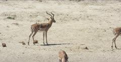 impala,oxpecker impala males walking with oxpeckers