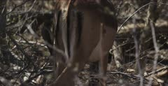 impala,oxpecker impala irritated with oxpeckers