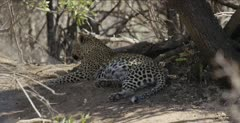 leopard male resting after big meal of impala