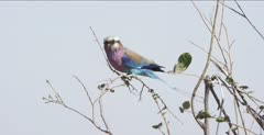 lilac-breasted roller sitting in tree, head still, body moving a lot