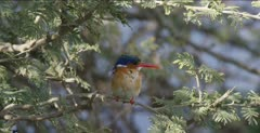 malachite kingfisher sitting on limb looking for a fish