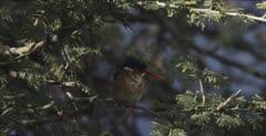 malachite kingfisher sitting on limb looking for a fish