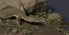 monitor lizard walking and hunting