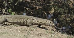 monitor lizard standing, looking