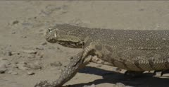 monitor lizard sitting on rock