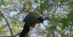 purple-crested turaco eating in tree