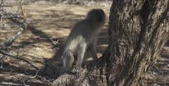 vervet monkey male, on tree bump then walks off