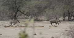 warthog running fast