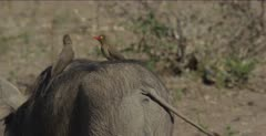 oxpeckers on warthogs back, closer