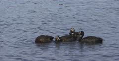 white-faced whistling ducks swimming and feeding