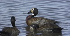 white-faced whistling ducks swimming and feeding, closer