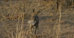 wild dog male standing and looking, drags ass on ground, walks back towards camera