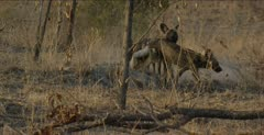 wild dog standing and looking at a hole