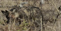 wild dog 3 or 4 adults at den, pups come out, get fed, mom there