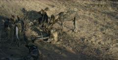 wild dog shots, dogs lounging