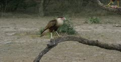 Crested Caracara and Harris Hawk