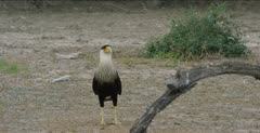 Two Crested Caracara