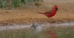 Black-Crested Titmouse and cardinal