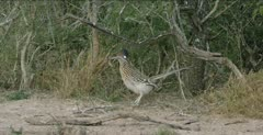 Roadrunner displaying with present for female